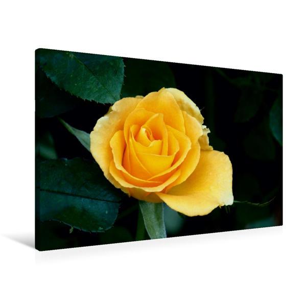 Premium Textil-Leinwand 90 cm x 60 cm quer, Teehybride 'Golden Monica' | Wandbild, Bild auf Keilrahmen, Fertigbild auf echter Leinwand, Leinwanddruck - Coverbild