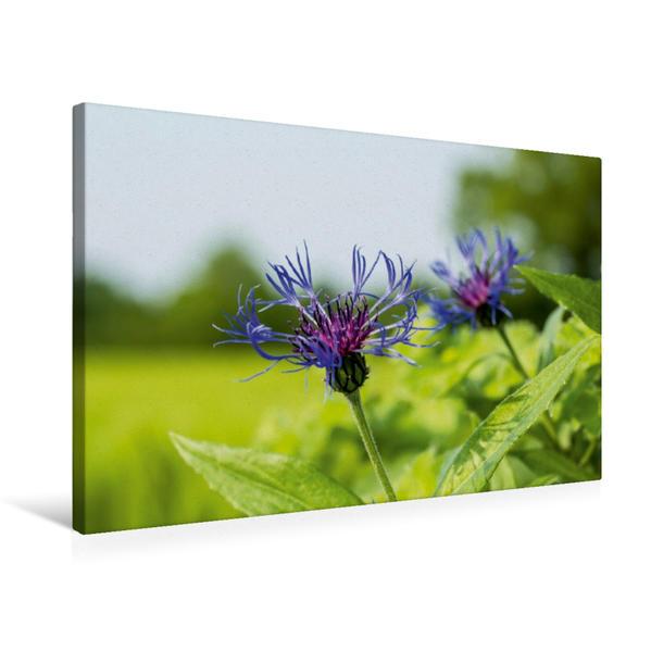 Premium Textil-Leinwand 75 cm x 50 cm quer, Ein Motiv aus dem Kalender                               Kornblumen - Pure Faszination in Blau   Wandbild, Bild auf Keilrahmen, Fertigbild auf echter Leinwand, Leinwanddruck - Coverbild