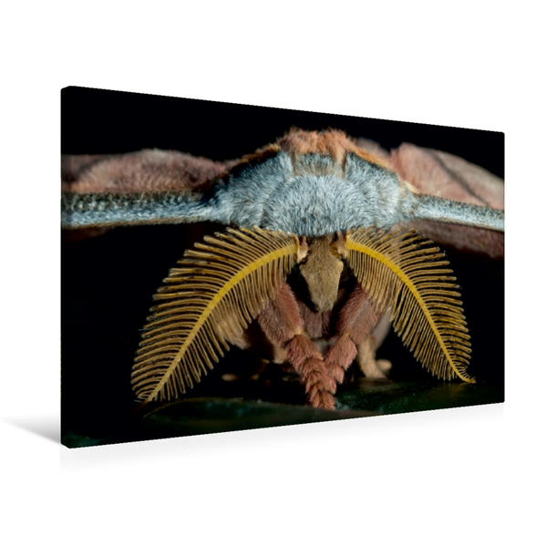 Premium Textil-Leinwand 75 cm x 50 cm quer, Tussaspinner Antheraea mylitta, Asien | Wandbild, Bild auf Keilrahmen, Fertigbild auf echter Leinwand, Leinwanddruck - Coverbild