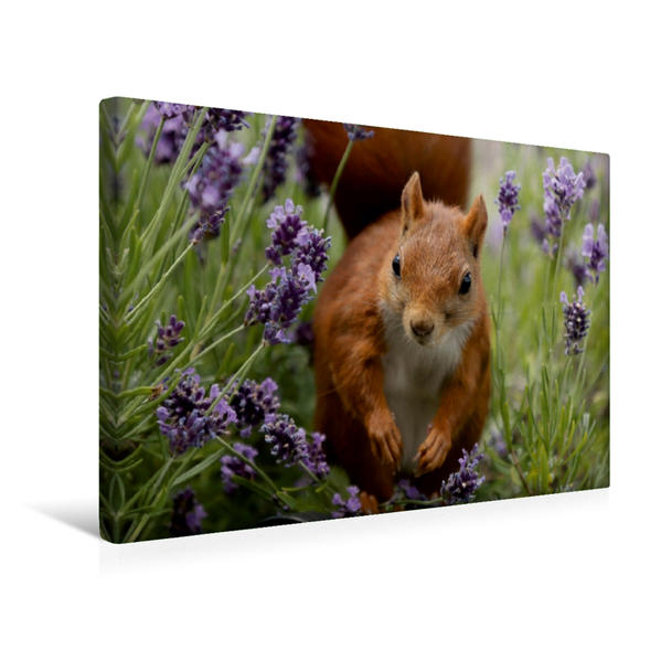 Premium Textil-Leinwand 45 cm x 30 cm quer, Besondere Augenblicke mit Eichhörnchen - Das Lavendelmädchen | Wandbild, Bild auf Keilrahmen, Fertigbild auf echter Leinwand, Leinwanddruck - Coverbild