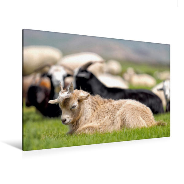 Premium Textil-Leinwand 120 cm x 80 cm quer, Kaschmirziege   Wandbild, Bild auf Keilrahmen, Fertigbild auf echter Leinwand, Leinwanddruck - Coverbild