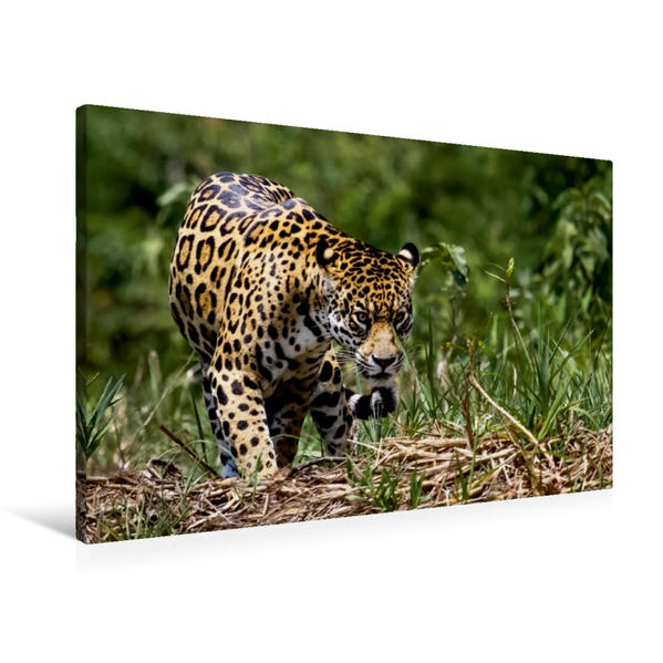 Premium Textil-Leinwand 90 cm x 60 cm quer, Jaguar (Panthera onca) | Wandbild, Bild auf Keilrahmen, Fertigbild auf echter Leinwand, Leinwanddruck - Coverbild
