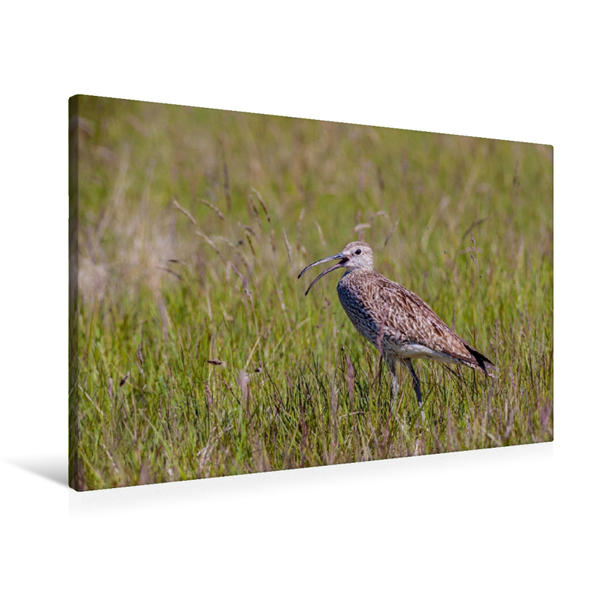 Premium Textil-Leinwand 90 cm x 60 cm quer, Regenbrachvogel   Wandbild, Bild auf Keilrahmen, Fertigbild auf echter Leinwand, Leinwanddruck - Coverbild