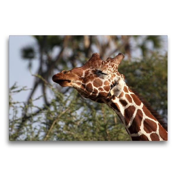 Premium Textil-Leinwand 75 cm x 50 cm quer, Giraffen – Kopfschütteln   Wandbild, Bild auf Keilrahmen, Fertigbild auf echter Leinwand, Leinwanddruck - Coverbild