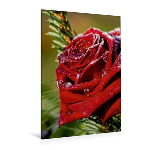Premium Textil-Leinwand 80 cm x 120 cm  hoch, Frostige Rose | Wandbild, Bild auf Keilrahmen, Fertigbild auf echter Leinwand, Leinwanddruck - Coverbild