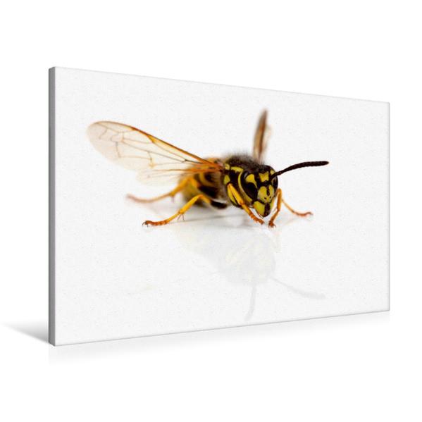 Premium Textil-Leinwand 90 cm x 60 cm quer, Wespe | Wandbild, Bild auf Keilrahmen, Fertigbild auf echter Leinwand, Leinwanddruck - Coverbild