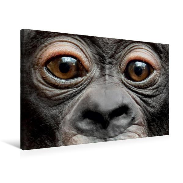 Premium Textil-Leinwand 75 cm x 50 cm quer, Bonobo VISOLA | Wandbild, Bild auf Keilrahmen, Fertigbild auf echter Leinwand, Leinwanddruck - Coverbild