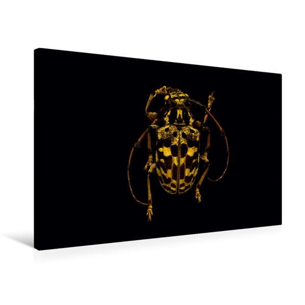 Premium Textil-Leinwand 75 cm x 50 cm quer, Anisocerus stellatus | Wandbild, Bild auf Keilrahmen, Fertigbild auf echter Leinwand, Leinwanddruck - Coverbild