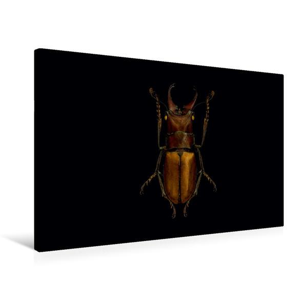 Premium Textil-Leinwand 75 cm x 50 cm quer, Cyclommatus bicolor | Wandbild, Bild auf Keilrahmen, Fertigbild auf echter Leinwand, Leinwanddruck - Coverbild
