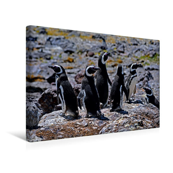 Premium Textil-Leinwand 45 cm x 30 cm quer, Pingüinos de Magallenes / Magellan-Pinguine (Spheniscus magellanicus)   Wandbild, Bild auf Keilrahmen, Fertigbild auf echter Leinwand, Leinwanddruck - Coverbild
