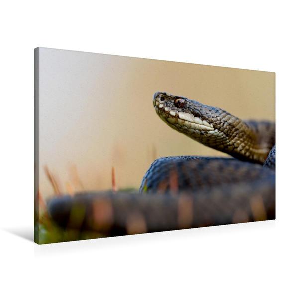Premium Textil-Leinwand 90 cm x 60 cm quer, Vipera berus | Wandbild, Bild auf Keilrahmen, Fertigbild auf echter Leinwand, Leinwanddruck - Coverbild
