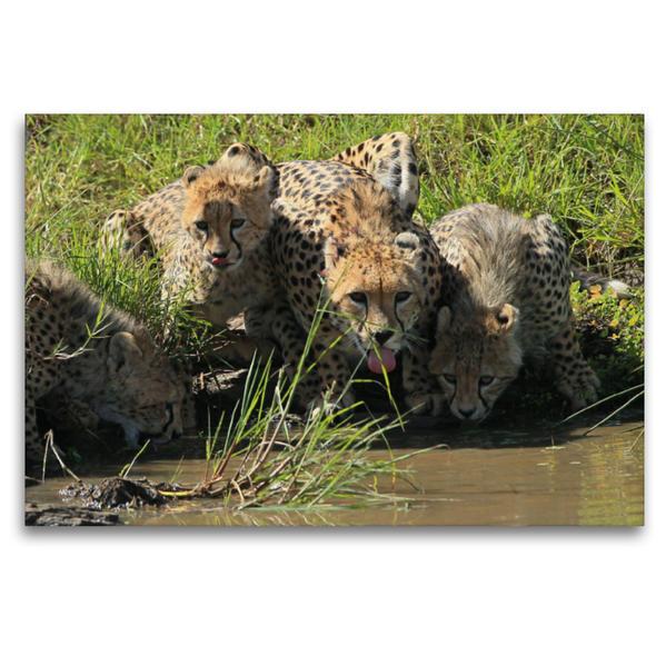 Premium Textil-Leinwand 120 cm x 80 cm quer, Geparden – am Wasserloch | Wandbild, Bild auf Keilrahmen, Fertigbild auf echter Leinwand, Leinwanddruck - Coverbild