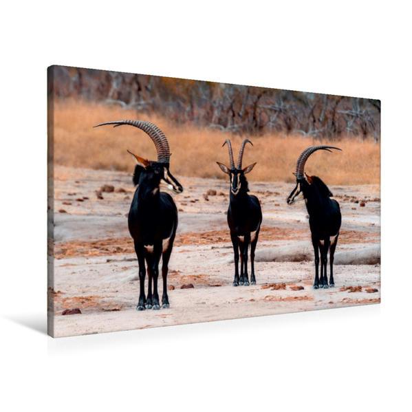 Premium Textil-Leinwand 90 cm x 60 cm quer, Säbelantilopen im Moremi Game Reserve | Wandbild, Bild auf Keilrahmen, Fertigbild auf echter Leinwand, Leinwanddruck - Coverbild