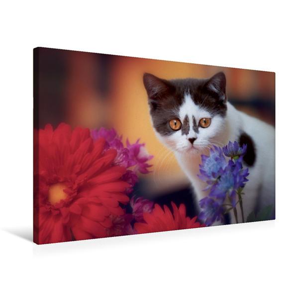 Premium Textil-Leinwand 75 cm x 50 cm quer, Britisch Kurzhaar Katzenkind in chocolate-white | Wandbild, Bild auf Keilrahmen, Fertigbild auf echter Leinwand, Leinwanddruck - Coverbild