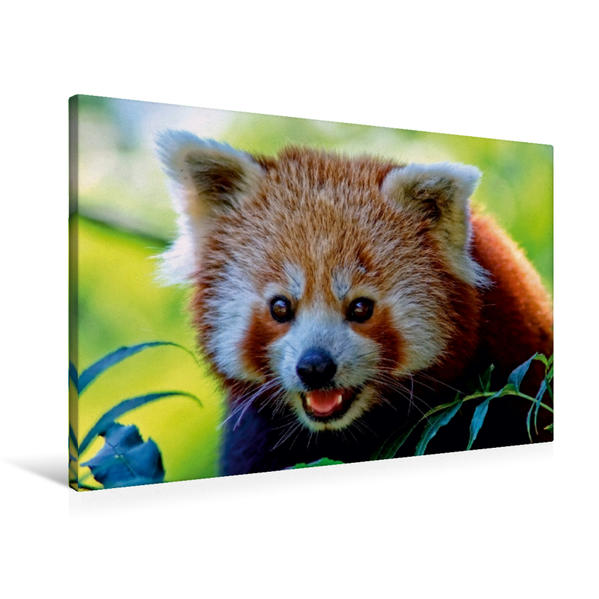 Premium Textil-Leinwand 90 cm x 60 cm quer, Der kleine Panda   Wandbild, Bild auf Keilrahmen, Fertigbild auf echter Leinwand, Leinwanddruck - Coverbild