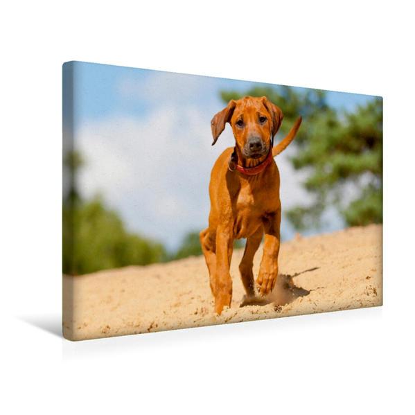 Premium Textil-Leinwand 45 cm x 30 cm quer, Ein drolliger junger Rhodesian Ridgeback läuft durch Sand | Wandbild, Bild auf Keilrahmen, Fertigbild auf echter Leinwand, Leinwanddruck - Coverbild