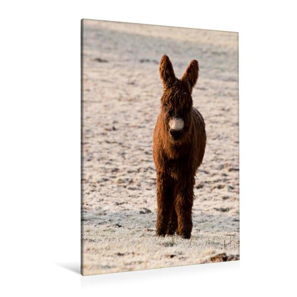 Premium Textil-Leinwand 80 cm x 120 cm  hoch, Eselfohlen im Winter | Wandbild, Bild auf Keilrahmen, Fertigbild auf echter Leinwand, Leinwanddruck - Coverbild
