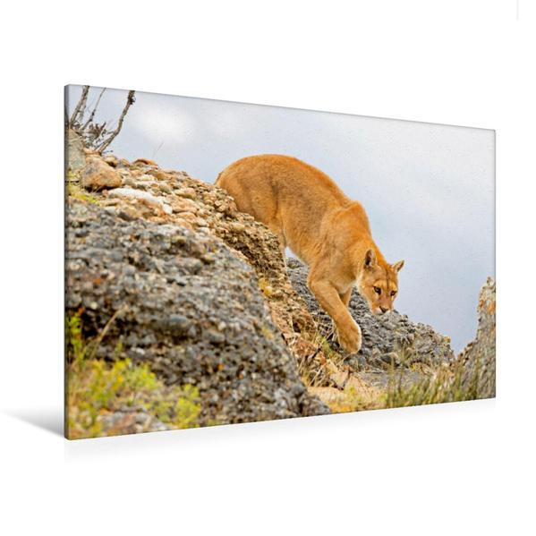 Premium Textil-Leinwand 120 cm x 80 cm quer, Lautlos schleicht ein Puma durch bergiges Gelände | Wandbild, Bild auf Keilrahmen, Fertigbild auf echter Leinwand, Leinwanddruck - Coverbild