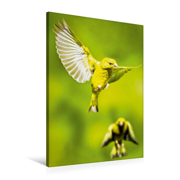 Premium Textil-Leinwand 60 cm x 90 cm hoch, Zwei Grünfinken im Flug mit weit gespreizten Flügeln | Wandbild, Bild auf Keilrahmen, Fertigbild auf echter Leinwand, Leinwanddruck - Coverbild