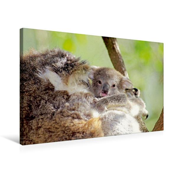 Premium Textil-Leinwand 75 cm x 50 cm quer, Zeit für ein Schläfchen - Koala Baby kuschelt sich dicht an seine Mutter | Wandbild, Bild auf Keilrahmen, Fertigbild auf echter Leinwand, Leinwanddruck - Coverbild