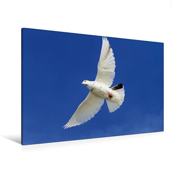 Premium Textil-Leinwand 120 cm x 80 cm quer, Symbol des Friedens - eine weisse Taube im anmutigen Flug | Wandbild, Bild auf Keilrahmen, Fertigbild auf echter Leinwand, Leinwanddruck - Coverbild