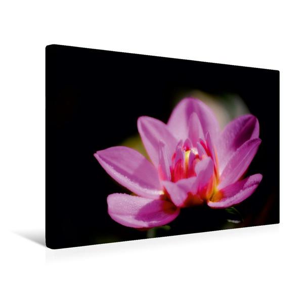 Premium Textil-Leinwand 45 cm x 30 cm quer, Geradezu göttlich: die lila Dahlie öffnet ihren Blütenkelch   Wandbild, Bild auf Keilrahmen, Fertigbild auf echter Leinwand, Leinwanddruck - Coverbild