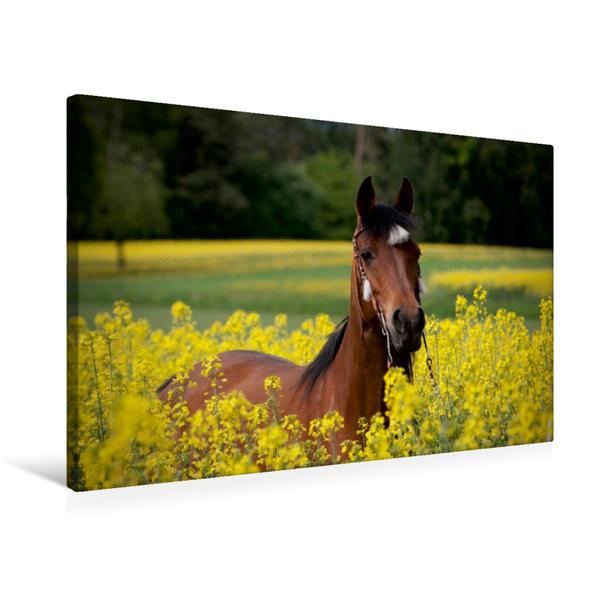 Premium Textil-Leinwand 75 cm x 50 cm quer, Rapsblüte | Wandbild, Bild auf Keilrahmen, Fertigbild auf echter Leinwand, Leinwanddruck - Coverbild