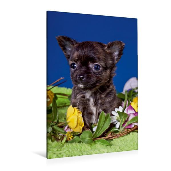Premium Textil-Leinwand 80 cm x 120 cm  hoch, Ein Motiv aus dem Kalender Chihuahua Welpen | Wandbild, Bild auf Keilrahmen, Fertigbild auf echter Leinwand, Leinwanddruck - Coverbild