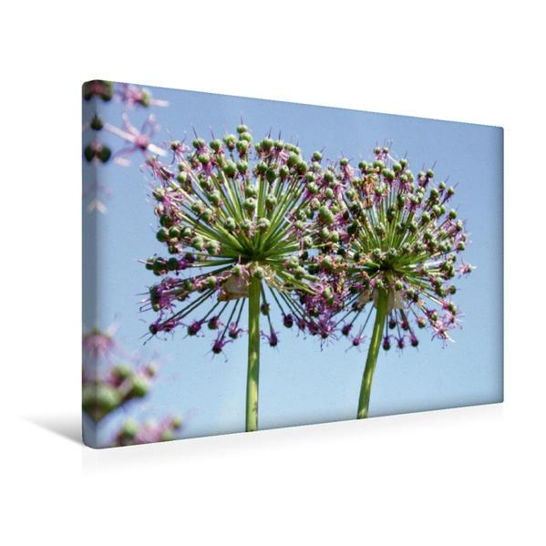 Premium Textil-Leinwand 45 cm x 30 cm quer, Ein Motiv aus dem Kalender ALLIUM   Wandbild, Bild auf Keilrahmen, Fertigbild auf echter Leinwand, Leinwanddruck - Coverbild