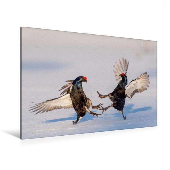 Premium Textil-Leinwand 120 cm x 80 cm quer, Kämpfende Birkhähne | Wandbild, Bild auf Keilrahmen, Fertigbild auf echter Leinwand, Leinwanddruck - Coverbild