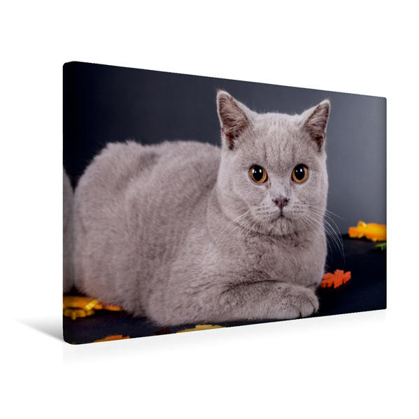 Premium Textil-Leinwand 45 cm x 30 cm quer, Ein Motiv aus dem Kalender Britisch Kurzhaar Katzen | Wandbild, Bild auf Keilrahmen, Fertigbild auf echter Leinwand, Leinwanddruck - Coverbild