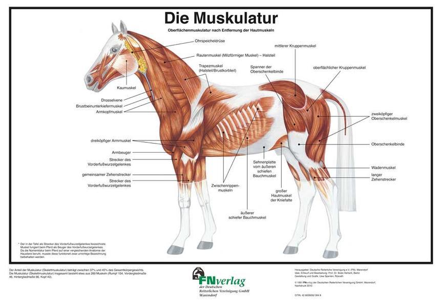 Die Muskulatur - Coverbild
