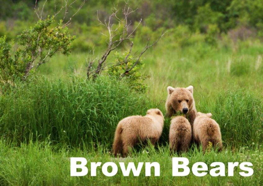 Brown Bears (Poster Book DIN A3 Landscape) - Coverbild