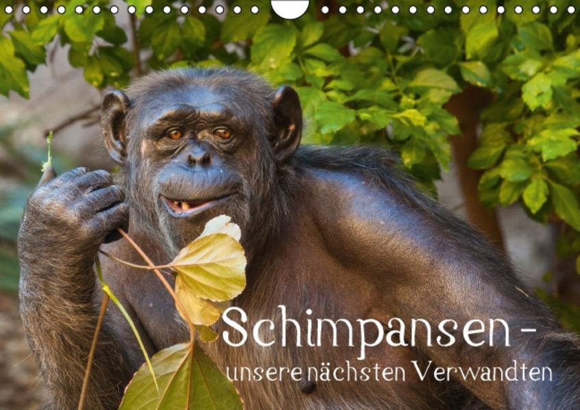Schimpansen - unsere nächsten Verwandten (Wandkalender 2016 DIN A4 quer) - Coverbild