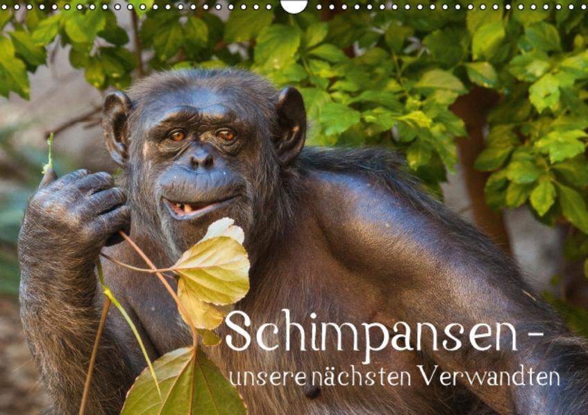 Schimpansen - unsere nächsten Verwandten (Wandkalender 2016 DIN A3 quer) - Coverbild