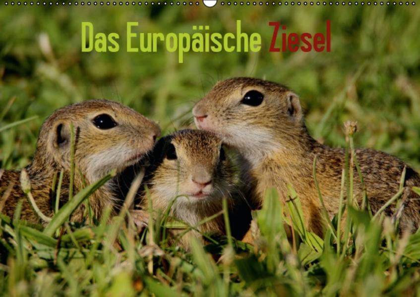 Das Europäische Ziesel (Wandkalender 2017 DIN A2 quer) - Coverbild