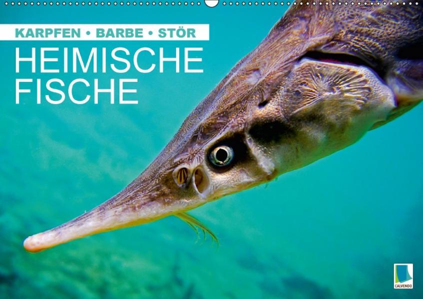 Heimische Fische: Karpfen, Barbe, Stör (Wandkalender 2017 DIN A2 quer) - Coverbild