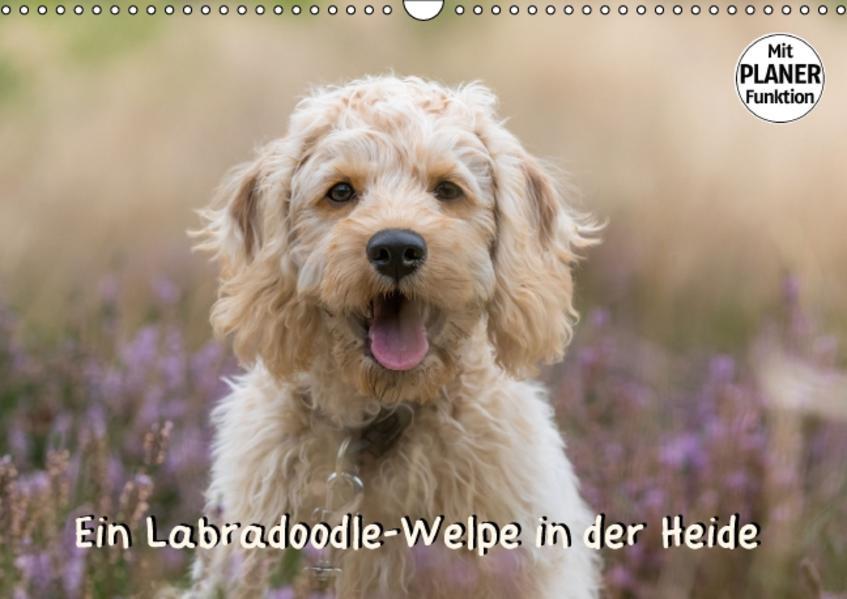 Ein Labradoodle-Welpe in der Heide (Wandkalender 2017 DIN A3 quer) - Coverbild