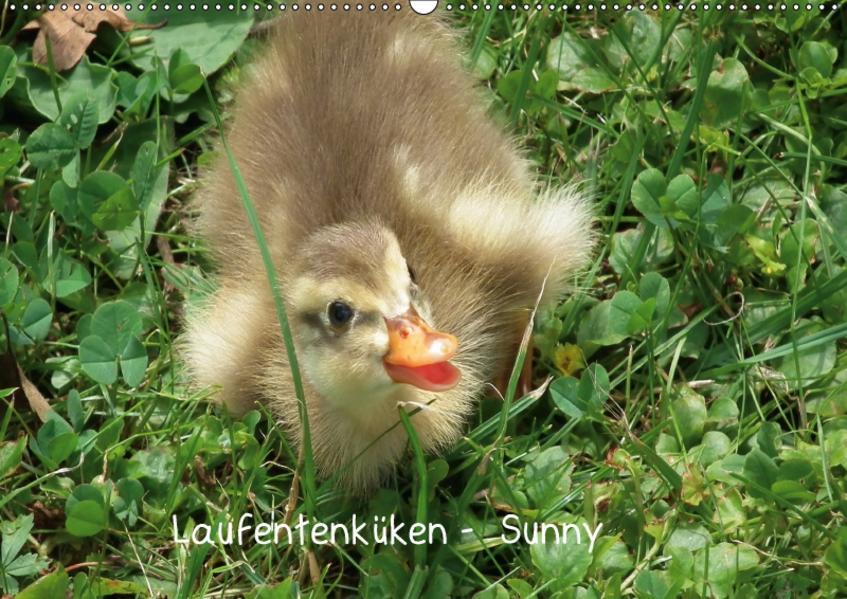Laufentenküken - Sunny (Wandkalender 2017 DIN A2 quer) - Coverbild