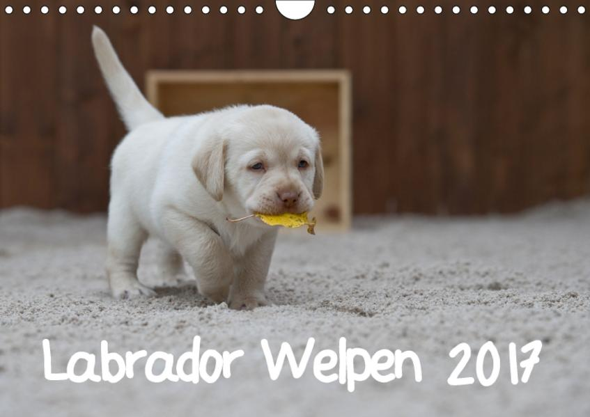 Labrador Welpen (Wandkalender 2017 DIN A4 quer) - Coverbild