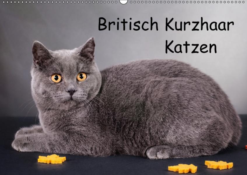 Britisch Kurzhaar Katzen (Wandkalender 2017 DIN A2 quer) - Coverbild