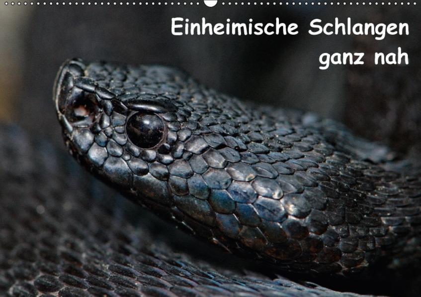Einheimische Schlangen ganz nah (Wandkalender 2017 DIN A2 quer) - Coverbild