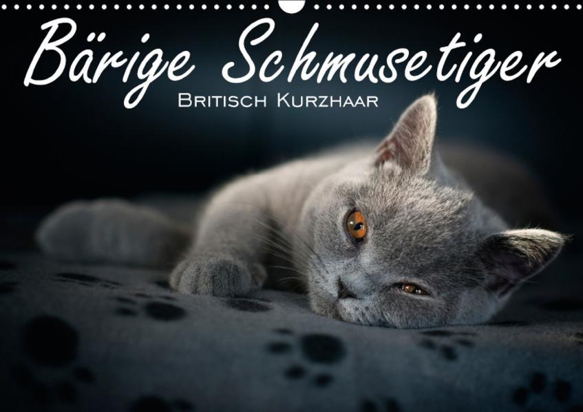 Bärige Schmusetiger - Britisch Kurzhaar (Wandkalender 2017 DIN A3 quer) - Coverbild