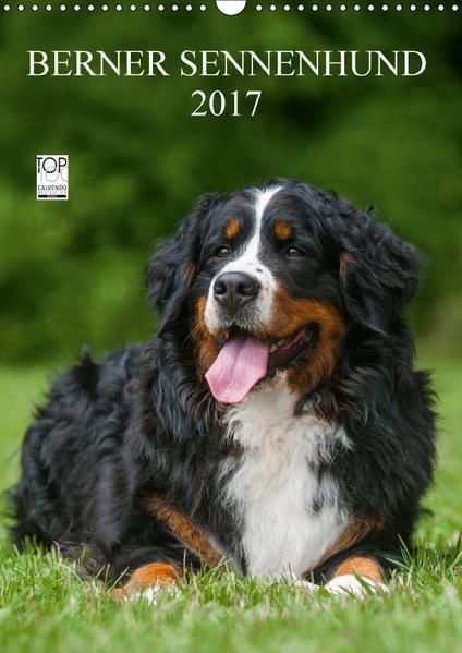 Berner Sennenhund 2017 (Wandkalender 2017 DIN A3 hoch) - Coverbild