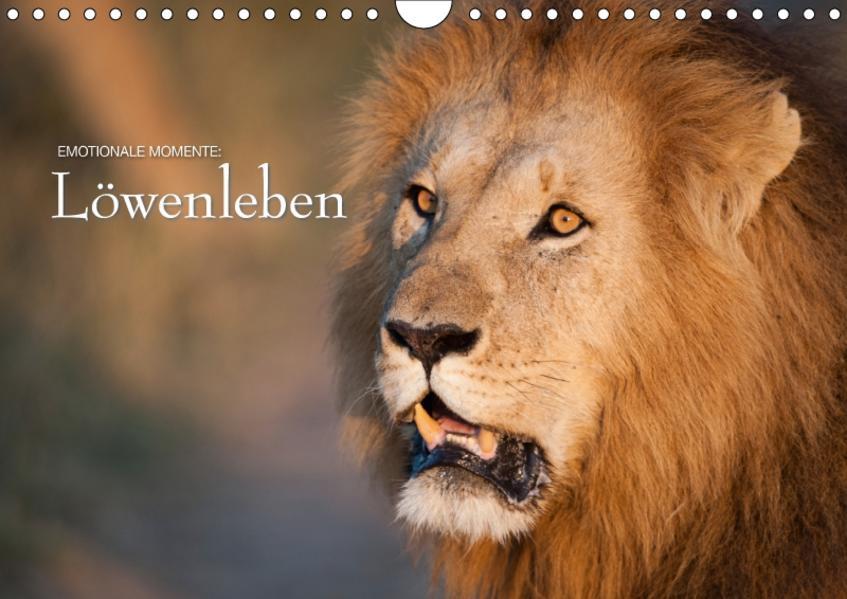 Emotionale Momente: Löwenleben / CH-Version (Wandkalender 2017 DIN A4 quer) - Coverbild