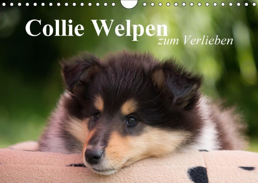 Collie Welpen zum Verlieben (Wandkalender 2017 DIN A4 quer) - Coverbild