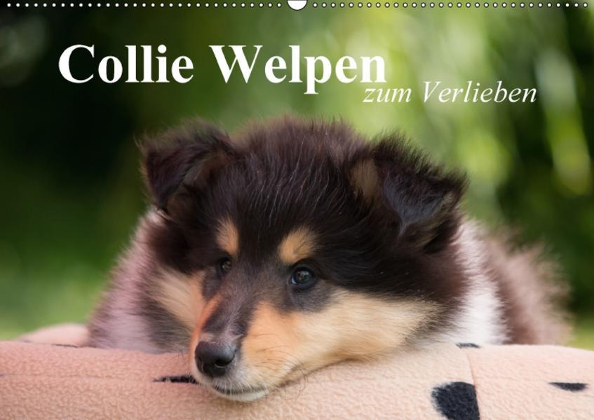 Collie Welpen zum Verlieben (Wandkalender 2017 DIN A2 quer) - Coverbild