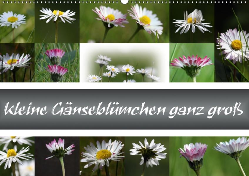 kleine Gänseblümchen ganz groß (Wandkalender 2017 DIN A2 quer) - Coverbild