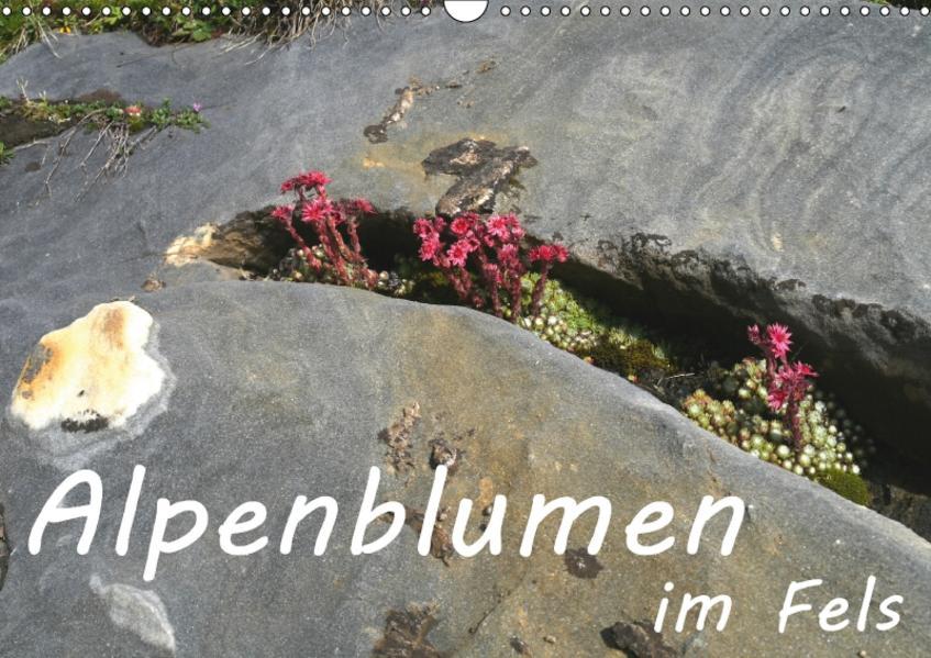 Alpenblumen im Fels (Wandkalender 2017 DIN A3 quer) - Coverbild