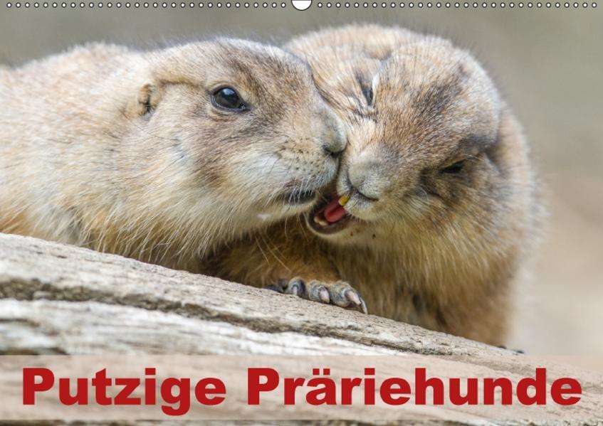 Putzige PräriehundeAT-Version  (Wandkalender 2017 DIN A2 quer) - Coverbild